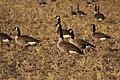 Canada goose - Branta canadensis (30998497308).jpg