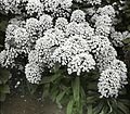 Candytuft in garden (13785696453).jpg