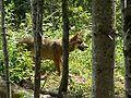 Canis lupus Parc Alpha 003.jpg