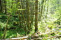 Canyon down to Tualatin River along logging road to Ki-a-Kuts Falls 2 - Oregon.JPG