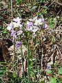 Cardamine pratensis flowers.jpg