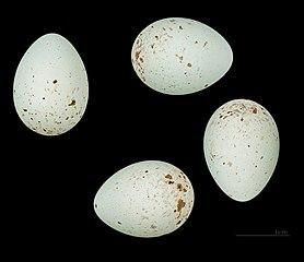 Stehlík pestrý - vajíčka