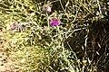 Carduus nutans-4421.jpg