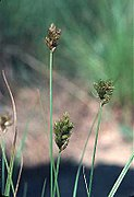 Carex crawfordii inflorescense (6).jpg