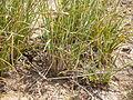 Carex filifolia (3797552830).jpg