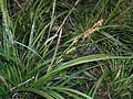 Carex morrowii 2016-04-17 7277.JPG