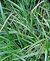 Carex pendula plant (35).jpg