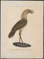 Cariama cristata - 1825-1834 - Print - Iconographia Zoologica - Special Collections University of Amsterdam - UBA01 IZ17300065.tif