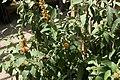 Carissa grandiflora Tomlinsonii 4zz.jpg