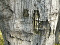 Carpinus betulus (11).JPG