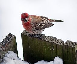 Carpodacus purpureus male Delaware