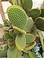 Caryophyllales - Opuntia microdasys - 2.jpg