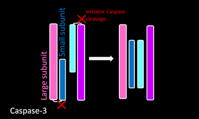 Executioner caspase constitutively exist as homodimers. The red cuts represent regions where initiator caspases cleave the executioner caspases. The resulting small and large subunit of each Caspase-3 will associate,resulting in a heterotetramer.