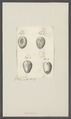 Cassidulus spec. - - Print - Iconographia Zoologica - Special Collections University of Amsterdam - UBAINV0274 106 04 0007.tif