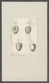 Cassidulus spec. - - Print - Iconographia Zoologica - Special Collections University of Amsterdam - UBAINV0274 106 04 0007.tif