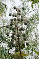 Castor-Oil Plants Seeds.jpg