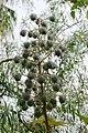 Castor-Oil Plants Seeds.jpg