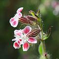 Catchfly (Silene gallica var quinquevulnera) flowers.jpg