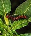 Caterpillar of Acraea terpsicore (Linnaeus, 1758) – Tawny Coster feeding on bud of Turnera ulmifolia.jpg