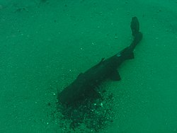 Catfish in Lake Malawi.jpg