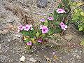 Catharanthus roseus2.jpg