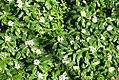 Catharanthus roseus 1zz.jpg