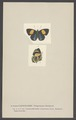 Catogramma - Print - Iconographia Zoologica - Special Collections University of Amsterdam - UBAINV0274 003 01 0057.tif