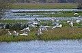 Cattle Egrets (Bubulcus ibis) and Grey Herons (Ardea cinerea) (25482490424).jpg