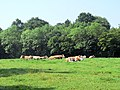 Cattle at Crab Tree - geograph.org.uk - 454019.jpg