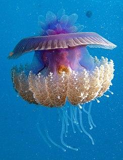 Scyphozoa Class of marine cnidarians, true jellyfish