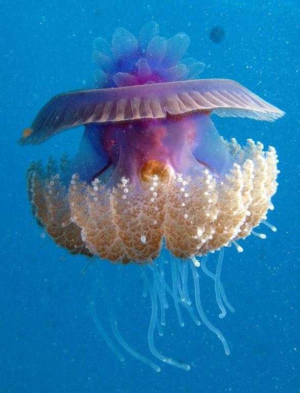 Cauliflour Jellyfish, Cephea cephea at Marsa Shouna, Red Sea, Egypt SCUBA