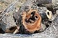 Cavités dans des bûches de peuplier blanc (68).JPG