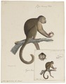 Cebus capucinus - 1818-1842 - Print - Iconographia Zoologica - Special Collections University of Amsterdam - UBA01 IZ20200178.tif