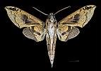 Cechenena helops papuana MHNT CUT 2010 0 22 Wau New Guinea male ventral.jpg
