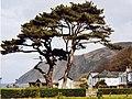 Cedar tree on the Manor - geograph.org.uk - 1457399.jpg