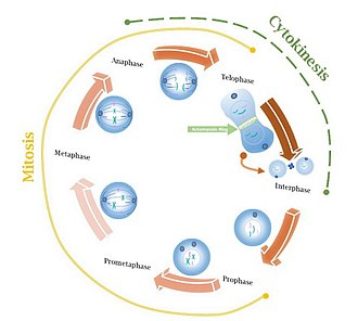 Actomyosin ring - Image: Cell cycle with images