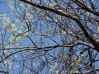 Celtis occidentalis 01708.jpg