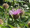 Centaurea pseudophrygia 240708.jpg