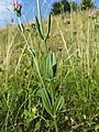 Centaurium erythraea (subsp. erythraea) sl8.jpg
