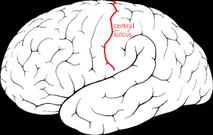 Central sulcus diagram.png