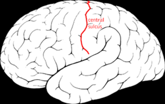 Central sulcus - The lateral surface of the left cerebral hemisphere showing the central sulcus in red