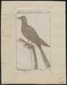 Centropus viridis - 1772-1829 - Print - Iconographia Zoologica - Special Collections University of Amsterdam - UBA01 IZ18800159.tif