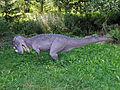 Ceratozaur - JuraPark Baltow (2).JPG