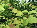 Cercidiphyllum japonicum02.jpg