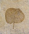 Cercis cyclophylla 01.JPG