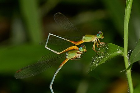 Damselfly intra-male sperm translocation