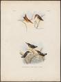 Ceyx rubra - 1863-1876 - Print - Iconographia Zoologica - Special Collections University of Amsterdam - UBA01 IZ16800093.tif