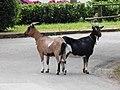 Chèvres (Capra aegagrus hircus) (05).jpg