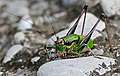 Chabrier's Marbled Bush-cricket (Eupholidoptera chabrieri) male (34845236683).jpg