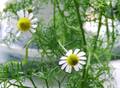 Chamomile Flowers.png